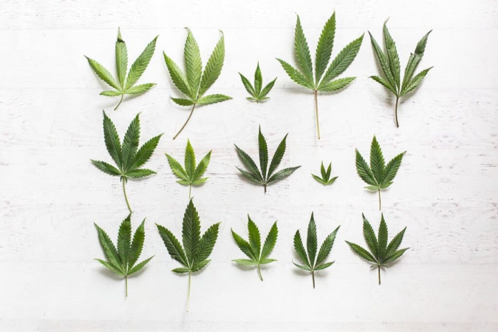 cannabis leaf types